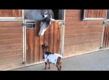 This Baby Goat Wants to Head-butt a Horse and it's Cute
