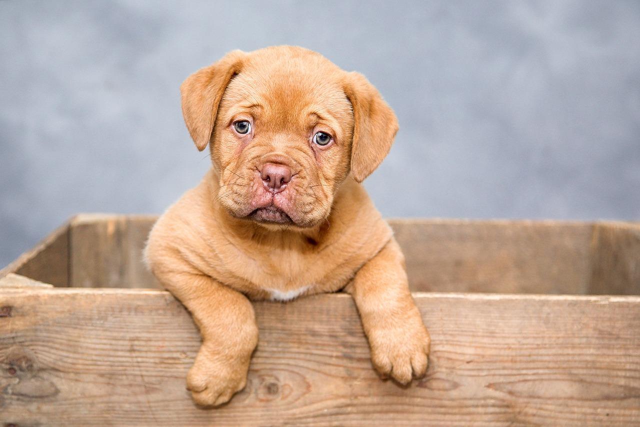 dogue de bordeaux puppy picture