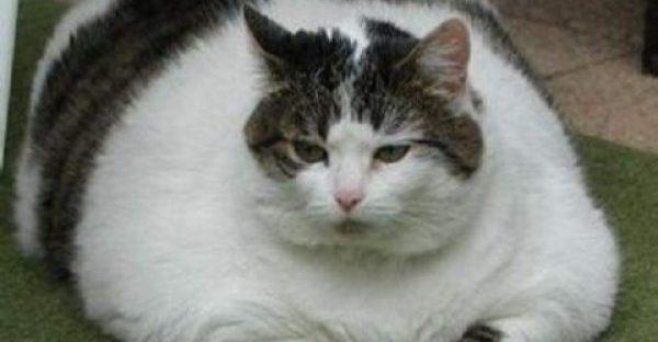 fat cat 7